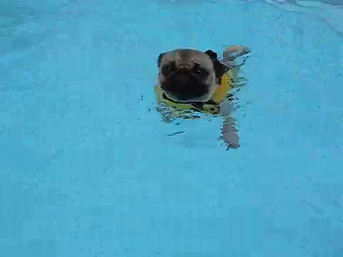 8cc7a1ce8eb Pug Paddle GIF - Dog Swim Pug GIFs