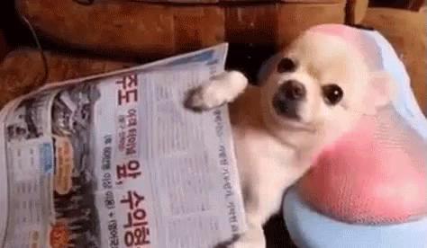 Mädel Chihuahua