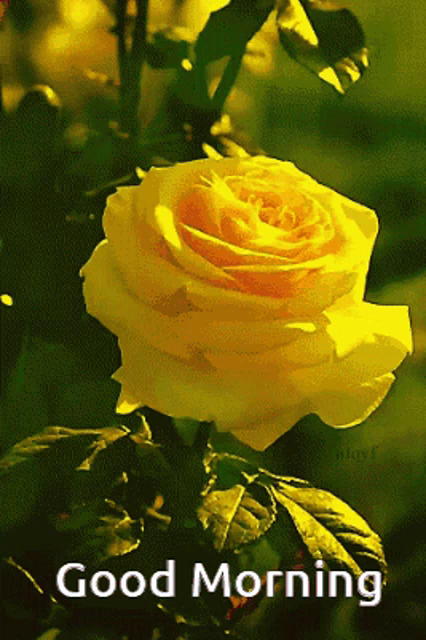 Good Morning Yellow Rose Yellow Rose With Good Morning Quote Gif Goodmorningyellowrose Yellowrosewithgoodmorningquote Yellowrosegif Discover Share Gifs