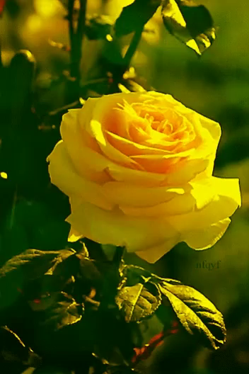 Yellow Rose GIF - Yellow Rose GIFs