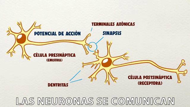 Las Neuronas Se Comunican Curiosamente GIF - LasNeuronasSeComunican  Curiosamente Neuronas - Discover & Share GIFs