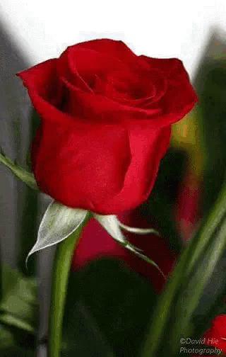 Good Rose Gifs Tenor
