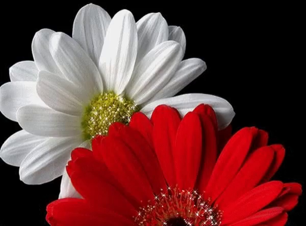 White red gif white red flowers discover share gifs mightylinksfo