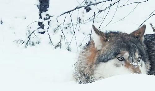 Wolf Cute GIF - Wolf Cute Playing GIFs
