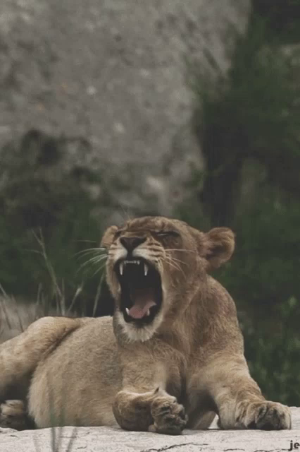 Lion Roar GIFs Tenor