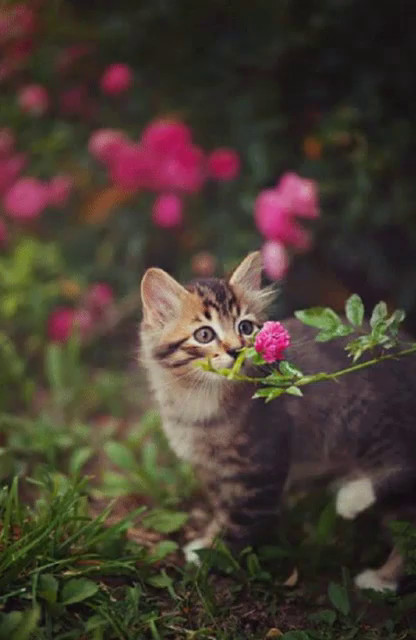 Cat with flower gifs tenor cat pink gif cat pink flower gifs mightylinksfo